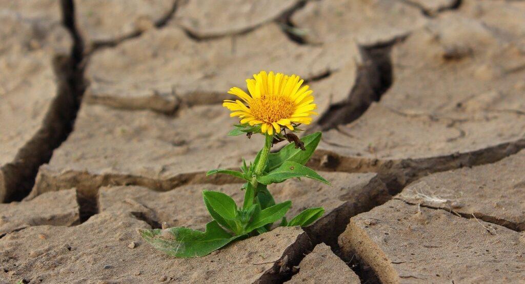 Eine Blume auf trockenem rissigen Boden