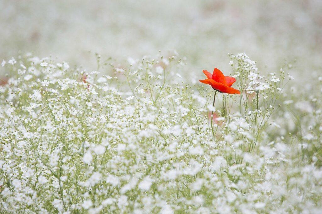 Eine Wiese mit einer Mohnblume