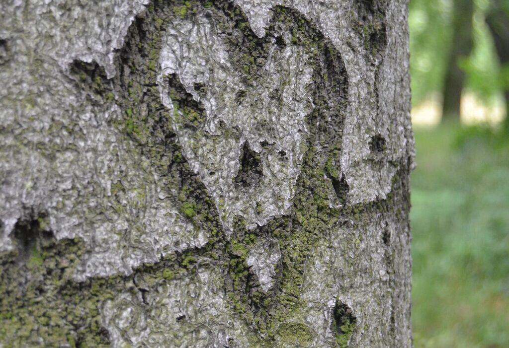 Rinden-Herz im Baum.